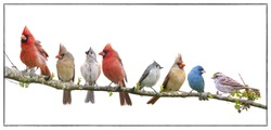 Assorted Songbird Flock Isolated on White Background
