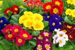 assorted spring primulas. colorful flower bed with red, blue, yellow, pink blossoms. easter flowers