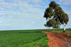 Assorted  views of wheat paddocks, with green growing wheat, dry golden wheat ears, ready to harvest,   lastly paddocks of stubble.