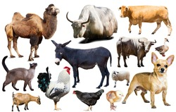assortment of different pet and farm animals isolated on white background