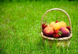 Assortment of fresh ripe organic fruits and berries: peaches, apricots and strawberry. Farm fruits in basket on green grass in garden.
