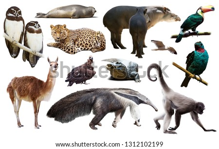 assortment of many south american wild birds, mammals, reptiles and insects isolated on white background #1312102199