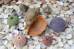 Assortment of seashells with different sea urchins