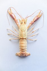Astacoidea isolated with white background,Procambarus Clarkii Orange Ghost.