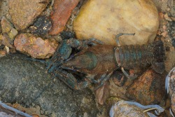 Astacus astacus, the European crayfish, noble crayfish, or broad-fingered crayfish, is the most common species of crayfish in Europe