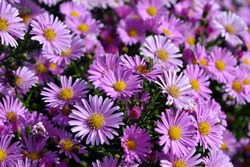 Aster alpinus. Beautiful flower abstract background of nature. Astra perennial. Astra Alpine. Summer landscape. Floriculture, home flower