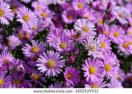 Aster alpinus. Beautiful flower abstract background of nature. Astra perennial. Astra Alpine. Summer landscape. Floriculture, home flower Foto stock ©