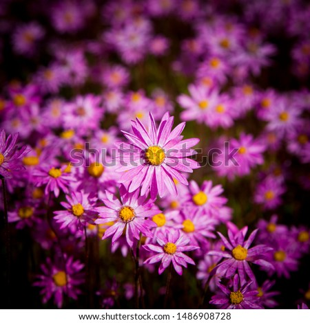 Aster amellus, the European Michaelmas-daisy is a perennial herbaceous plant of the genus Aster. Lilac petals with yellow centres, Full frame floral background, crop to square. #1486908728