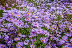 Aster dumosus Blue Lagoon ( pillows Aster ). Blue cushion asters bloom in garden. Aster novi-belgii 'Blue Lagoon' blossom in german park. Autumn background with blue flowers.