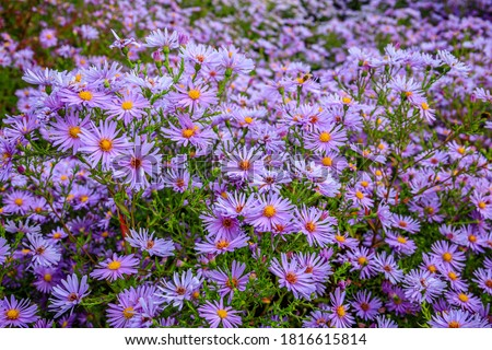 Aster dumosus Blue Lagoon ( pillows Aster ). Blue cushion asters bloom in garden. Aster novi-belgii 'Blue Lagoon' blossom in german park. Autumn background with blue flowers.  Foto stock ©