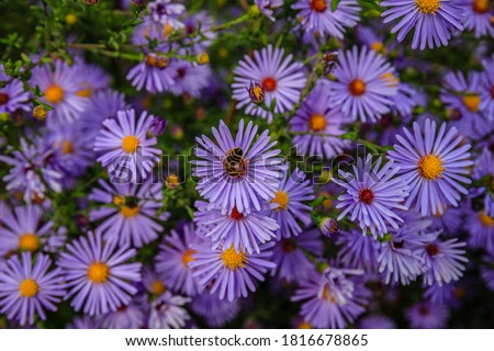 Aster dumosus Blue Lagoon ( pillows Aster ). Blue cushion asters bloom in garden. Aster novi-belgii  blossom in german park. Autumn background with blue asters flowers. Blue Michaelmas daisy flower Foto stock ©
