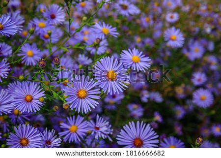 Aster dumosus Blue Lagoon ( pillows Aster ). Blue cushion asters bloom in garden. Autumn background with blue asters flowers. Blue Michaelmas daisy flower Foto stock ©