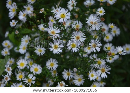 Aster ericoides, Symphyotrichum ericoides, white heath aster, white aster, heath aster, snow flurry flower in bloom Foto stock ©
