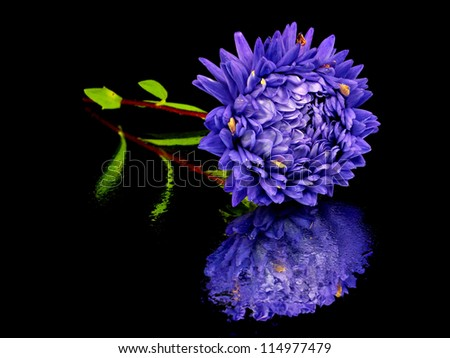 aster flower on a black background with water drops