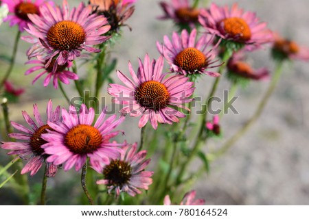 Aster Flowers in Chicago, USA