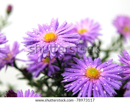Aster flowers on the white background