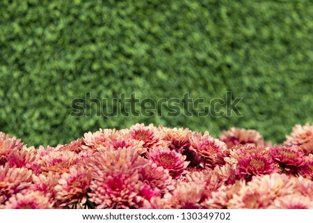 Aster flowers with green background.