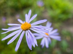 Aster Tongolensis (Asteraceae family) - violet blue color flower known also as East Indies Aster, close-up