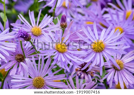 Aster x frikartii 'Monch' a lavender blue herbaceous perennial summer autumn flower plant commonly known as michaelmas daisy, stock photo image Foto stock ©