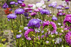 asters flower garden, multicolored