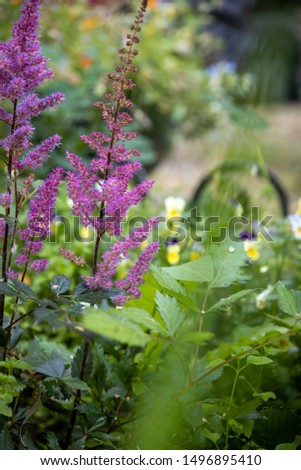Astilbe flowering in a cottage garden surrounded by other perennials and annuals. pink flower spikes.