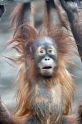 Astonished young orangutan.