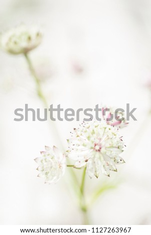 Astrantia, dreamy on a white background in soft light