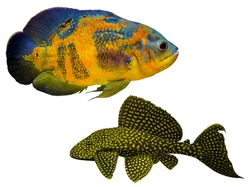 Astronotus ocellatus. Oscar fish (Astronotus ocellatus) aquarium fish Sailfin Pleco swimming underwater. oscar fish isolated on white background