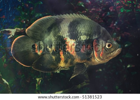 Astronotus ocellatus (Tiger), - big fresh-water fish, South American cichlid