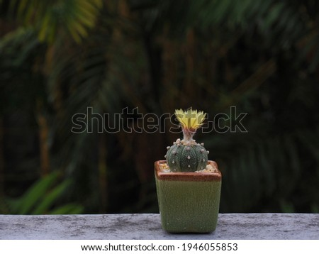 Astrophytum cactus Yellow flowers, is grown in a small pot on natural background.Blooming yellow cactus flower is Astrophytum asterias is a species of cactus plant.Star cactus.