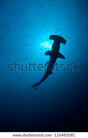 At certain times of the year Scalloped Hammerhead sharks (Sphyrna lewini) gather in large numbers at Cocos Island off Costa Rica.  This island is known for its sharks and great fish populations. #126485081