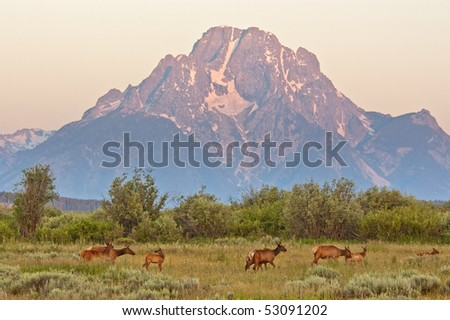 At sunrise a herd of elk move from their nightly feeding grounds under Mount Moran in Grand Tetons National Park.