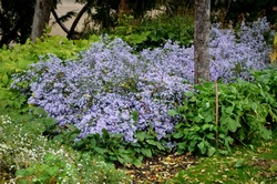 at the end of october, rich bunches of blue and purple aster flowers bloom in the parks along the scam and in the flowerbeds. the edges of the road and the protective rope fences sidewalk overgrown