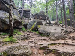 At the foot of one of the pillars in the reserve in Krasnoyarsk. Pine and birch trees with bare roots at the foot of the cliff. The grass below the mountain practically does not grow,rocks are visible