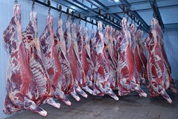 At the slaughterhouse. Carcasses, raw meat beef, hooked in the freezer
