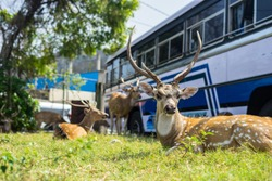 At Trincomalee Bus station in Sri Lanka you can see many deer chilling calmly.