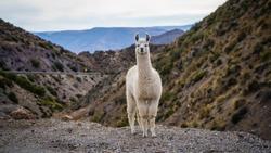 Atacama Desert Llama in Chile