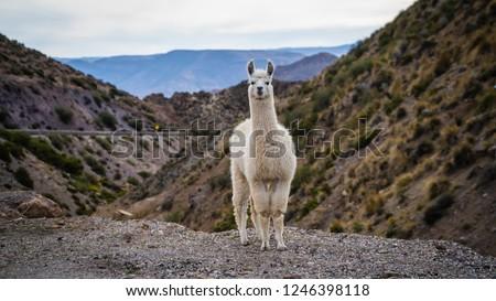 Atacama Desert Llama in Chile #1246398118