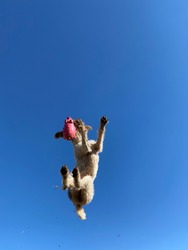 Athletic purebred German wire haired pointer dog soaring and flying through the air snatching a pink toy isolated on a beautiful blue sky background
