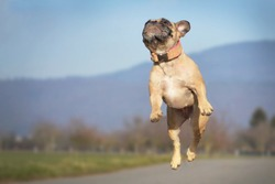 Athletic small fawn French Bulldog dog jumping high in the air