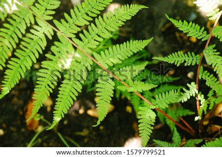 Athyrium Niponicum 'Lady in Red'. Close-up of graceful green fronds of elegant fern on striking red stems. #1579799521