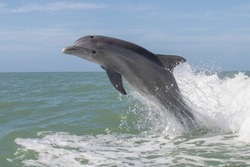 Atlantic Bottlenose Dolphins - Tursiops truncatus