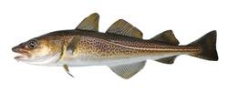 Atlantic cod fresh, Gadus morhua, fish of Greenland