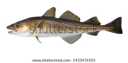 Atlantic cod fresh, Gadus morhua, fish of Greenland Stock photo ©