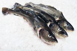 Atlantic cod on ice