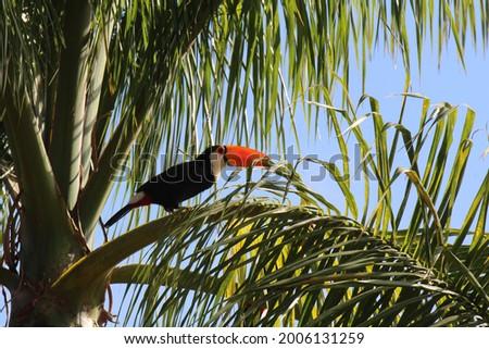 Atlantic Forest Birds, Brazil - Toco Toucan Zdjęcia stock ©