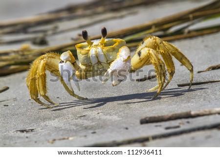 Atlantic ghost crab (Ocypode quadrata) on the sand