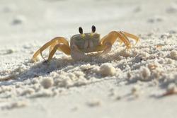 Atlantic ghost crab, Ocypode quadrata, Saint Andrews Sate Park, Florida, USA