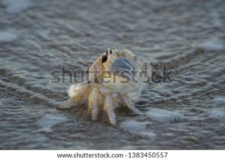 Atlantic ghost crab on the beach at Canaveral National Seashore, Florida #1383450557