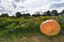 Atlantic giant pumpkin patch in south east England Kent It is the number one choice for growing a real big fruit Tasty flesh also makes it great for kitchen use and is an excellent source of vitamin A